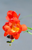 freesia - photo/picture definition - freesia word and phrase image