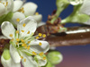 plum blossom - photo/picture definition - plum blossom word and phrase image
