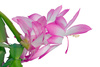 schlumbergera flowers - photo/picture definition - schlumbergera flowers word and phrase image