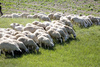 sheep - photo/picture definition - sheep word and phrase image
