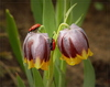 tulip - photo/picture definition - tulip word and phrase image