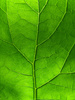 burdock leaf - photo/picture definition - burdock leaf word and phrase image