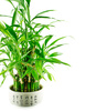 bamboo bush - photo/picture definition - bamboo bush word and phrase image