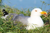 gull - photo/picture definition - gull word and phrase image