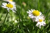 daisies - photo/picture definition - daisies word and phrase image