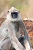 langur - photo/picture definition - langur word and phrase image