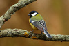 great tit - photo/picture definition - great tit word and phrase image