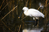 spoonbill - photo/picture definition - spoonbill word and phrase image