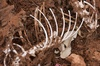 kangaroo skeleton - photo/picture definition - kangaroo skeleton word and phrase image