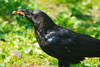 crow - photo/picture definition - crow word and phrase image