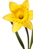 daffodil - photo/picture definition - daffodil word and phrase image