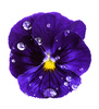 viola flower - photo/picture definition - viola flower word and phrase image