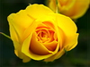 rose - photo/picture definition - rose word and phrase image