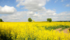 rapeseed field - photo/picture definition - rapeseed field word and phrase image
