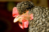 pied hen - photo/picture definition - pied hen word and phrase image