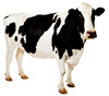 cow - photo/picture definition - cow word and phrase image