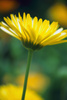 camomile - photo/picture definition - camomile word and phrase image