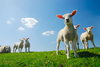 lambs - photo/picture definition - lambs word and phrase image
