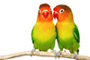 lovebirds - photo/picture definition - lovebirds word and phrase image