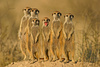 suricate - photo/picture definition - suricate word and phrase image