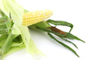 fresh corn - photo/picture definition - fresh corn word and phrase image