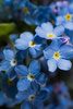 forget me not - photo/picture definition - forget me not word and phrase image