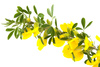 forsythia - photo/picture definition - forsythia word and phrase image