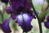 French iris - photo/picture definition - French iris word and phrase image