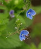 forget me nots - photo/picture definition - forget me nots word and phrase image