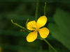 buttercup - photo/picture definition - buttercup word and phrase image