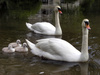 swans - photo/picture definition - swans word and phrase image