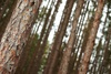 pine tree forest - photo/picture definition - pine tree forest word and phrase image
