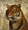 tiger - photo/picture definition - tiger word and phrase image