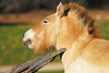 Mongolian horse - photo/picture definition - Mongolian horse word and phrase image