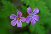 robert geranium - photo/picture definition - robert geranium word and phrase image