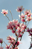 magnolia blossoming - photo/picture definition - magnolia blossoming word and phrase image