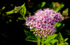 spirea macro - photo/picture definition - spirea macro word and phrase image