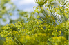 blooming fennel - photo/picture definition - blooming fennel word and phrase image