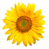 sunflower - photo/picture definition - sunflower word and phrase image
