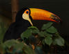 toucan - photo/picture definition - toucan word and phrase image