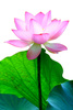 pink lotus - photo/picture definition - pink lotus word and phrase image