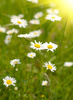 camomile field - photo/picture definition - camomile field word and phrase image
