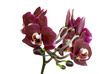 orchids in bloom - photo/picture definition - orchids in bloom word and phrase image