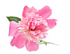 peony blossom - photo/picture definition - peony blossom word and phrase image