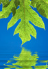 papaya leaf - photo/picture definition - papaya leaf word and phrase image