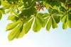 horse chestnuts leaves - photo/picture definition - horse chestnuts leaves word and phrase image
