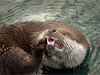otter - photo/picture definition - otter word and phrase image