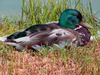 duck - photo/picture definition - duck word and phrase image