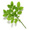 billberry leaves - photo/picture definition - billberry leaves word and phrase image