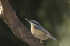 nuthatch - photo/picture definition - nuthatch word and phrase image